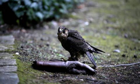 Θράκη: Θάνατος σπάνιων αρπακτικών πουλιών από δηλητηριασμένα δολώματα
