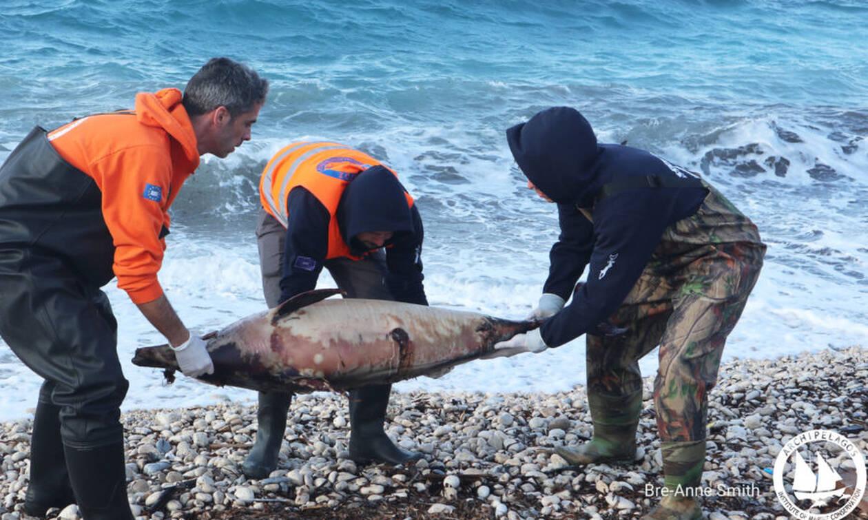 Σοκάρουν οι εικόνες με νεκρά δελφίνια στο Βορείο Αιγαίο μετά την τουρκική άσκηση «Γαλάζια πατρίδα»