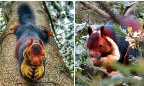 Γνωρίζετε τους σκίουρους Μαλαμπάρ; Δείτε και θα καταλάβετε (photos)