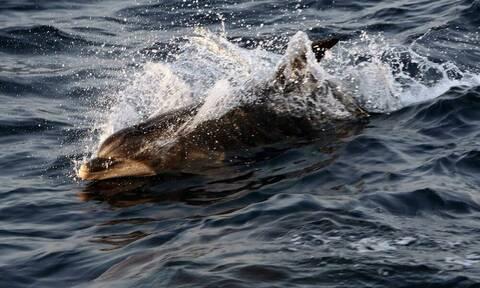 Τι απαντά η Τουρκία για τα νεκρά δελφίνια κατά την άσκηση «Γαλάζια Πατρίδα» (vid)