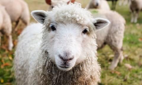 Προκήρυξη για τη Βιολογική κτηνοτροφία -Πότε λήγει η προθεσμία