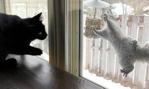 Νταής σκίουρος τρέπει σε άτακτη φυγή μια γάτα! (vid)