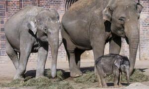 Γεννητούρια στο ζωολογικό κήπο του Βούπερταλ: Να ζήσει ο Γκους, το ελεφαντάκι!