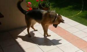 Σκύλος ανακαλύπτει την σκιά του και παθαίνει σοκ! (video)