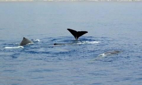 Κρήτη: Είδαν μπροστά στα μάτια τους μια φάλαινα να «παιχνιδίζει» με δελφίνια!