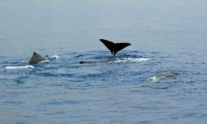 На Крите отдыхающие сняли видео с «танцующими» дельфинами и китом
