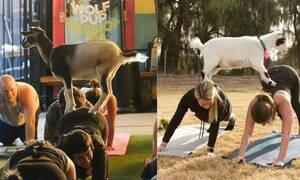 Καινούργια μόδα: Γιόγκα με μια γίδα στην πλάτη! (video+photos)