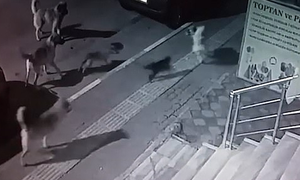 Γάτα - κομάντο τα βάζει με έξι σκύλους και βγαίνει νικήτρια (video)