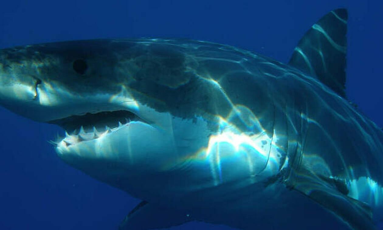 Απίστευτο: Λευκός καρχαρίας πνίγηκε στην προσπάθειά του να φάει θαλάσσια χελώνα (pic)
