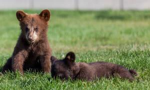 Ούτε τα μωρά…αρκουδάκια δεν αφήνουν τη μαμά τους να ξεκουραστεί! (vid)