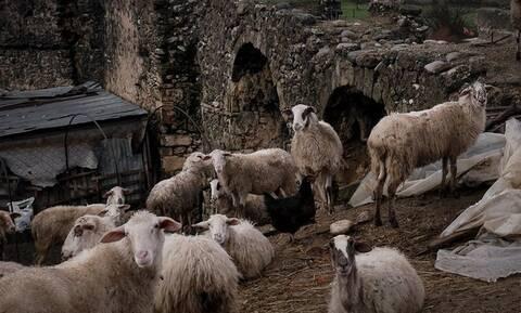 Κρήτη: Έκλεψαν 120 αρνιά από μαντρί σε χωριό του Ηρακλείου
