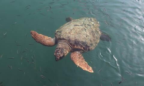 Σοκαριστικές εικόνες στο Κατάκολο: Βρίσκουν στην παραλία σκοτωμένες χελώνες (pics)
