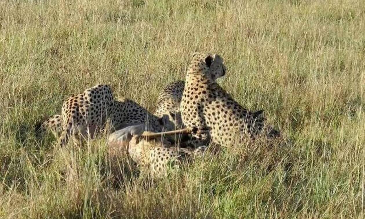 Τσιτάχ κυνηγούν μια αντιλόπη! Υπολόγιζαν, όμως, χωρίς τις ύαινες... (video)
