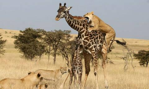 Μεγαλείο της Φύσης: Καμηλοπάρδαλη θυσιάζεται για να σώσει τα παιδιά της!