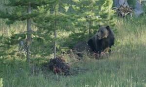 Δύο αρκούδες τρώνε άγριο ζώο μέχρι τη στιγμή που εμφανίζεται ένας λύκος... (video)