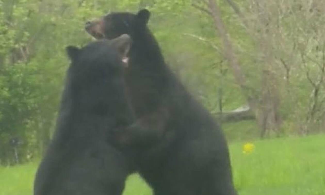Απίστευτο βίντεο: Αρκούδες έπαιξαν... ξύλο για ένα θηλυκό!