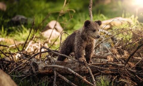 Πέντε αρκουδάκια επιστρέφουν στη φύση - Δείτε τις φωτογραφίες