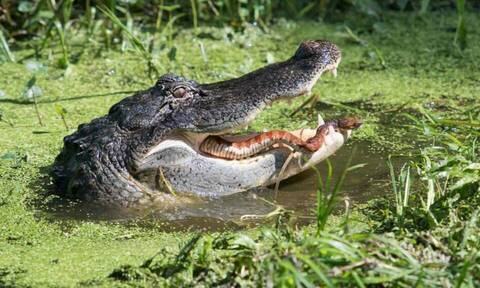Μεγάλη μάχη! Φίδι προσπαθεί να σωθεί από τα σαγόνια αλιγάτορα (pics)