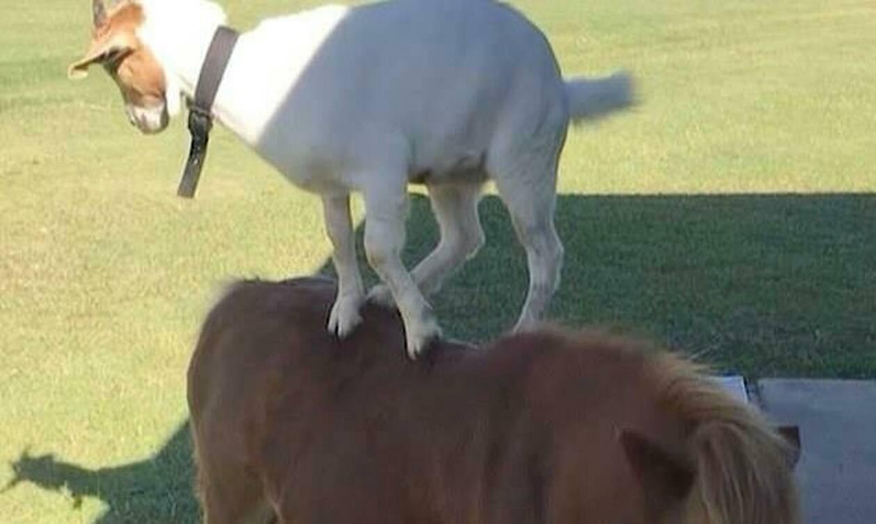 Ξεκαρδιστικό! Κατσίκα κάνει βόλτες στην πλάτη ενός πόνυ (pics+vid)