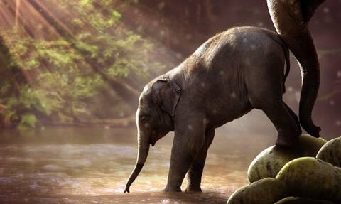 Ελέφαντας ποδοπάτησε μέχρι θανάτου χωρικό που πλησίασε το νεκρό μικρό του (video)