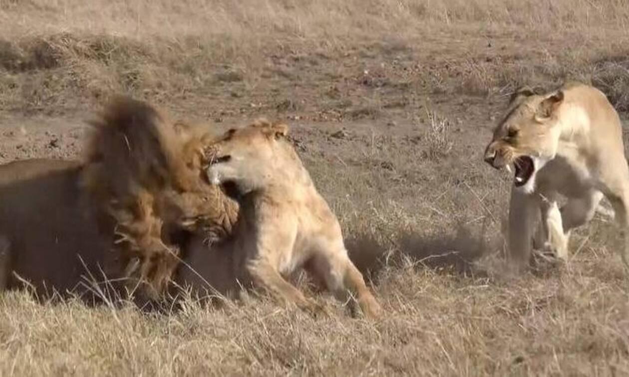 Λιοντάρι αφήνει λέαινα παράλυτη, επειδή πλησίασε κοντά την ώρα που έτρωγε (video)