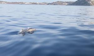 Κοπάδι από μικρά δελφίνια μάγεψαν τη Μύκονο (video)