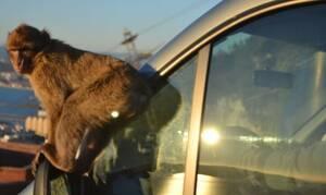 Είδαν μια μαϊμού να ανεβαίνει στο αυτοκίνητό τους. Δεν περίμεναν ποτέ ότι θα τους... (video)