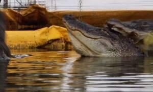 Αλιγάτορας «φλερτάρει» το ταίρι του και δέχεται πισώπλατη επίθεση από... «ανταγωνιστή»(video)