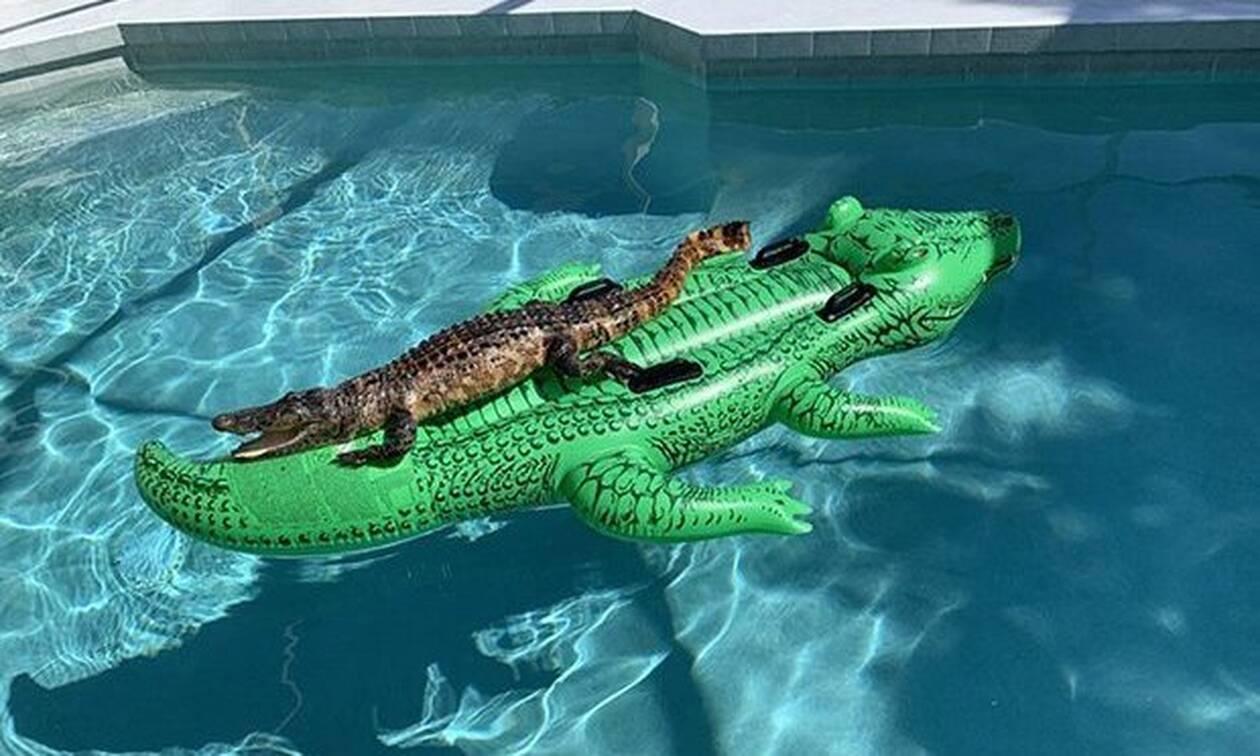 Επικό! Αλιγάτορας έκανε… όργια σε πισίνα πάνω σε πλαστικό αλιγάτορα (pics)