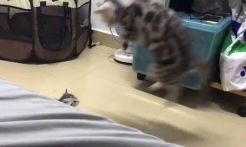 Ξεκαρδιστικό! Γάτα τινάχθηκε στον αέρα γιατί τρόμαξε από το γατάκι της (vid)