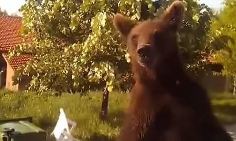 Φλώρινα: Αρκούδα κάνει βόλτες στο χωριό - Δείτε πώς αντέδρασε ο οδηγός που την συνάντησε