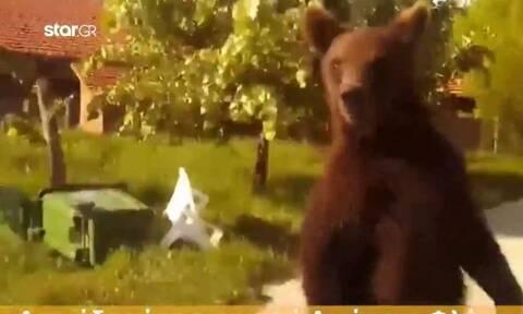 Αρκούδα έκλεισε τον δρόμο σε διερχόμενο οδηγό στη Φλώρινα (video)