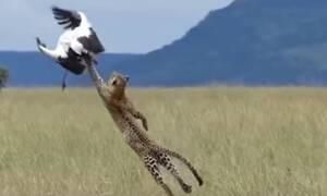 Απίστευτη μάχη επιβίωσης: Πελαργός σώζεται απο... λεοπάρδαλη! (video)