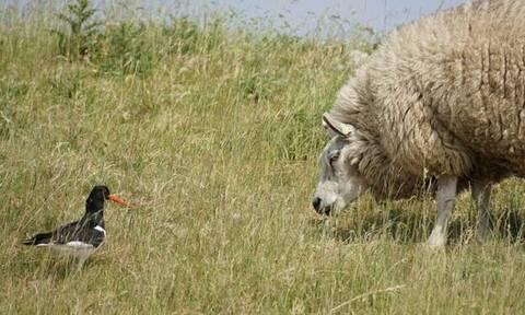 Κρήτη: Ένα πουλί κι ένα πρόβατο άναψαν φωτιά στον Φουρφουρά!