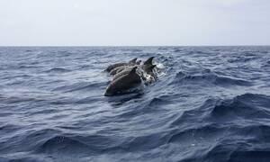 Μοναδικές εικόνες: Σέρφερς «κατακλύστηκαν» από δελφίνια (vid)