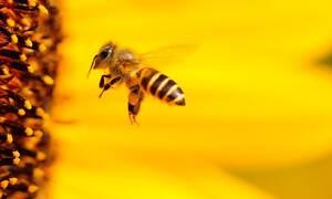 Αλλεργία σε τσίμπημα μέλισσας ή σφήκας: Τι πρέπει να γνωρίζετε (pics)