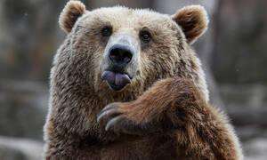 Россиянин откусил медведю язык в драке