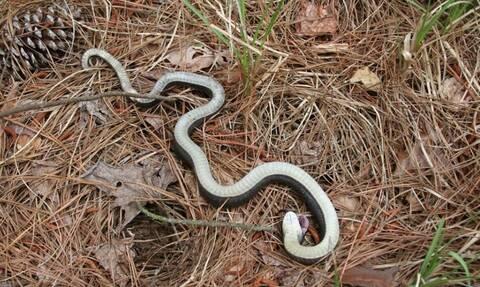 Υπάρχει φίδι - ζόμπι; Όλη η αληθεια