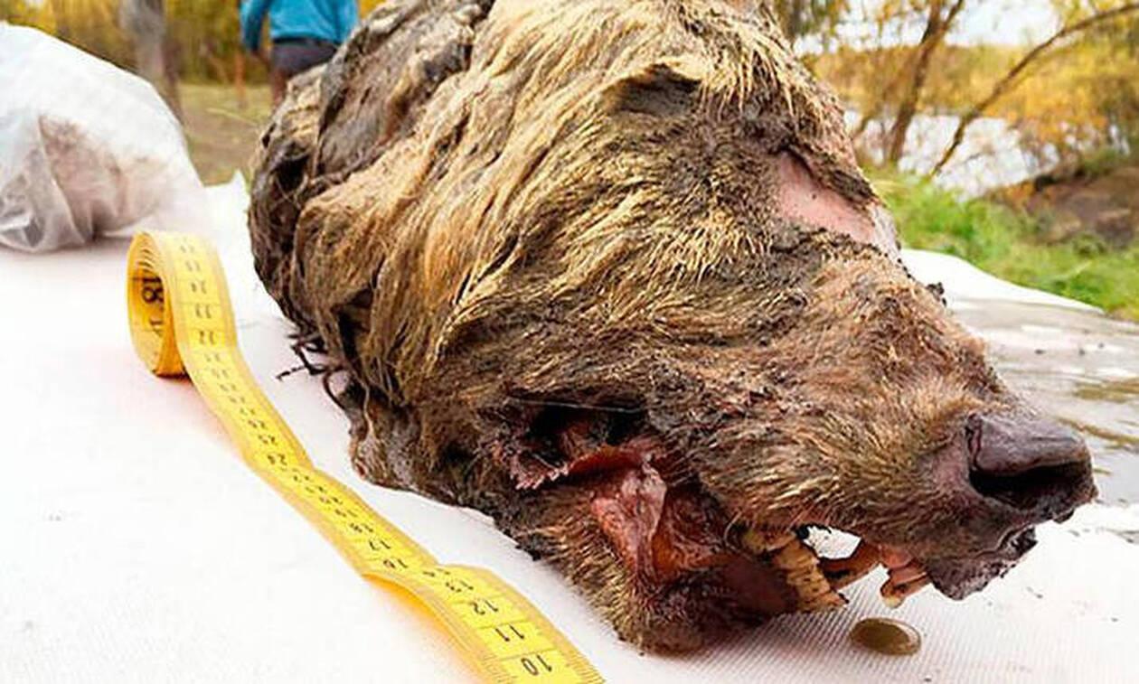 Επιστήμονες εντόπισαν κεφάλι λύκου ηλικίας 40.000 ετών σε άριστη κατάσταση