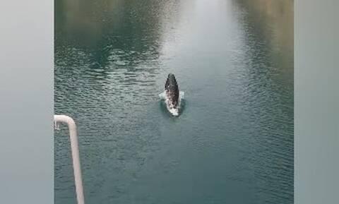Μεσογειακή φώκια διασχίζει την διώρυγα στον Ισθμό της Κορίνθου