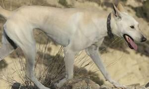 Κρητικός Ιχνηλάτης: Η πανάρχαια ράτσα σκύλου που ζει μόνο στην Κρήτη