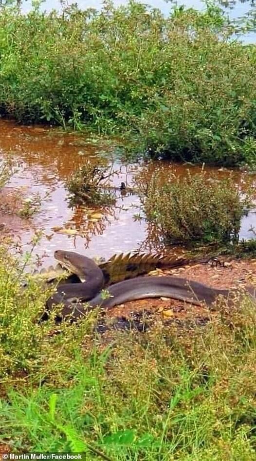 pythonas-krokodeilos6.jpg