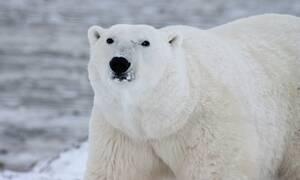 Σιβηρία: Πεινασμένη πολική αρκούδα περιπλανιέται σε πόλη αναζητώντας τροφή (vid)