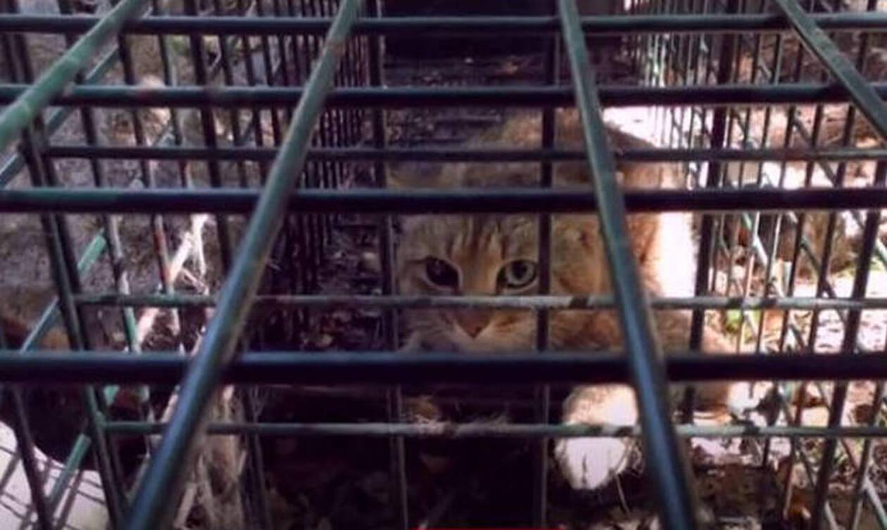 Νέο μυστηριώδες είδος γάτας-αλεπού εντοπίστηκε στην Κορσική (vid&pics)