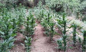 Ρέθυμνο: Εκριζώθηκε φυτεία με πάνω από 1300 δενδρύλλια - Τρεις συλλήψεις (pics)