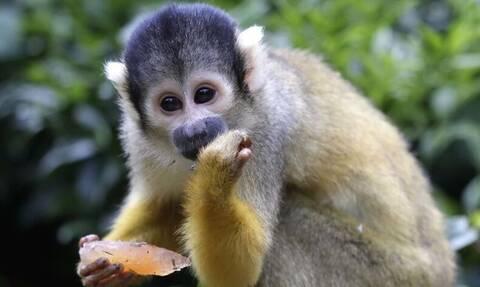Φρίκη: Μαϊμού σκότωσε βρέφος για να του κλέψει το γάλα