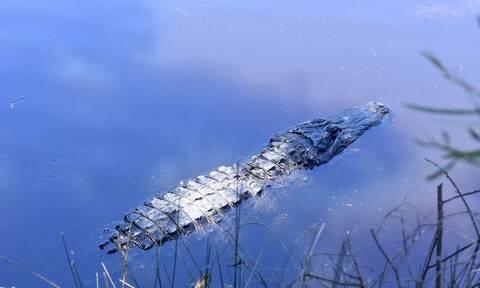 Φρίκη: Βρέθηκαν ανθρώπινα μέλη στο στομάχι αλιγάτορα (vid)
