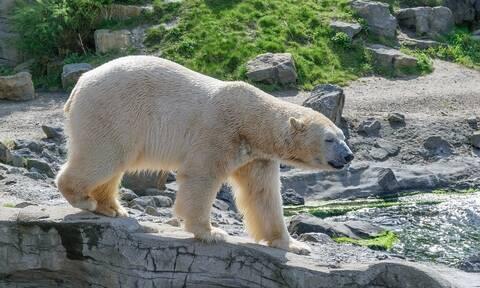 Δραματικό βίντεο: Της επιτίθεται πολική αρκούδα – Πώς κατάφερε να σωθεί (vid)
