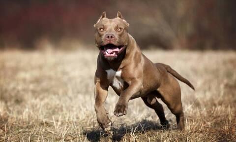 В Греции собака породы питбуль напала на 49-летнюю женщину