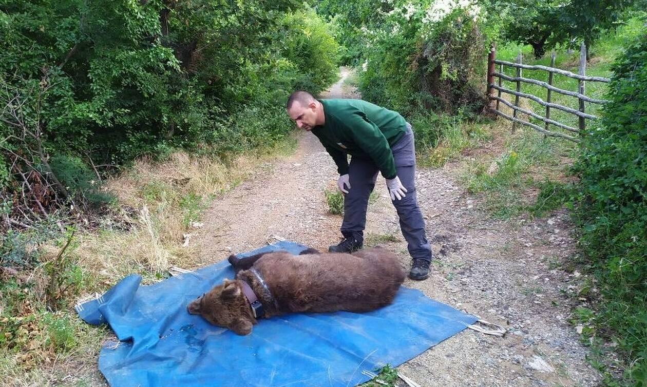 Θεσσαλονίκη: Εγκλωβισμένη σε παγίδα, δίπλα σε κερασιές, βρέθηκε αρκούδα(pics)